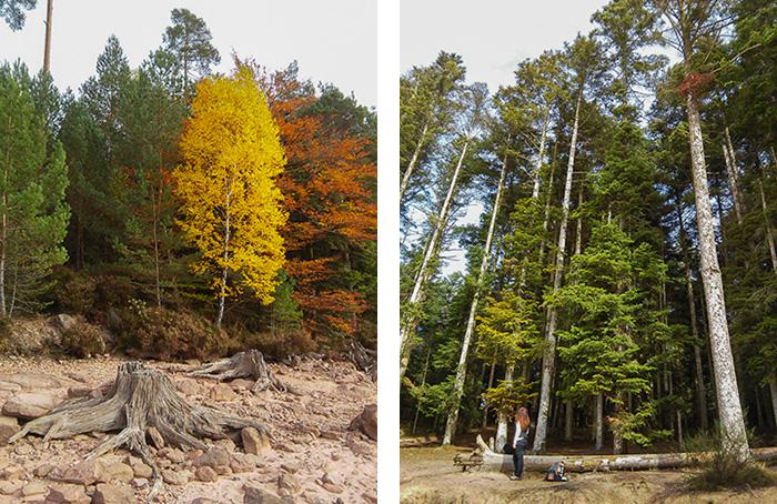 Forêts principalement de pins et sapins du lac de Pierre-Percée